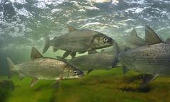 Whitefish Migration (Fish as art) Tags: fish ecology spawning whitefish underwaterphotography canadianarctic unterwasserfotografie coregonids underwaterphotographypaulvecsei