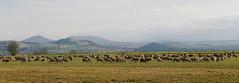 Troupeau de moutons en Auvergne (jmsatto) Tags: moutons auvergne