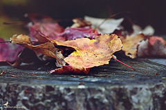 sure signs (carlamgk) Tags: autumn nature leaves forest nikon bokeh foliage granby 105mm d600 granbyct macleangamepreserve