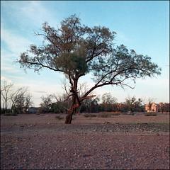 (*johnnyfavorite) Tags: travel sunset tree 120 6x6 film analog square kodak hasselblad morocco journey 400 marrakech epson medium format portra 500cm v700 johnnyfavorite