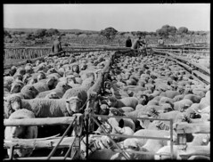 Sheep in yards at Euro Station (State Records SA) Tags: blackandwhite photography sheep australia historical southaustralia eurostation frankhurley srsa staterecords staterecordsofsouthaustralia staterecordsofsa
