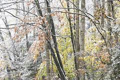 Autumn Snow Monongahela National Forest (travelphotographer2003) Tags: autumn usa mist snow green fall ecology fog woodland woods solitude westvirginia serenity naturalbeauty appalachianmountains alleghenymountains monongahelanationalforest beautyinnature williamsriverscenicbackway