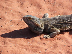 Encounter on the red sand II (Fehlfokus) Tags: australia outback