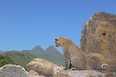 Wildlife combo (Arno Meintjes Wildlife) Tags: wallpaper art wildlife safari leopard combo dlife arnomeintjes