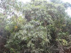 Claoxylon hillii (Euphorbiaceae) (FNQJen) Tags: euphorbiaceae qrfp ntrfp warfp claoxylon arfflowers greenarfflowers tropicalarf lowlandarf cyrfp claoxylonhillii