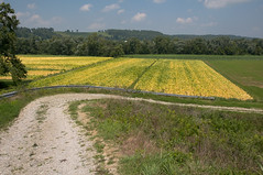 09-4460 (George Hamlin) Tags: road trees golden photo farm kentucky sparta decor tobacco burley