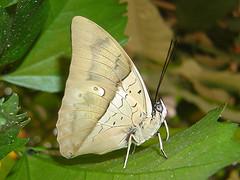 Archaeoprepona amphimachus (Lepsibu) Tags: