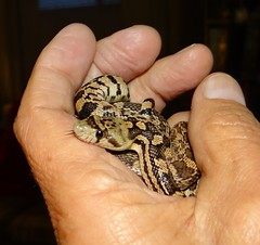 Give a hand (EcoSnake) Tags: education teaching snakes reptiles greatbasingophersnake pituophiscateniferdeserticola newsnake