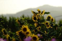 (ddsnet) Tags: flowers plant sony taiwan 99 sunflower taichung    slt      leaves  singlelenstranslucent 99v