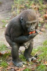 2013-12-28-10h21m06.272P4989 (A.J. Haverkamp) Tags: amsterdam zoo gorilla thenetherlands artis dierentuin shambe canonef70200mmf28lisusmlens httpwwwartisnl pobamsterdamthenetherlands dob04092011