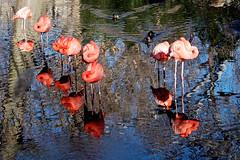 (int_enter) Tags: pink bird animal zoo bronx flamingo