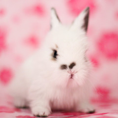 (astakatrin) Tags: pink blue pet baby brown white cute rabbit bunny love furry little fluffy tiny lionhead