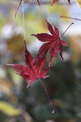 Esile (lincerosso) Tags: foglie autunno bellezza giardino armonia stagione mutamento vitaemorte aceropalmato delicatessa