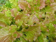 lettuce grown in my hydroponic gardens using the drainback (square foot hydroponics) Tags: flowers food plants flower macro green up set garden pepper flow outdoors pond corn gardening systems vegetable system indoors bananas lettuce health hydro howto vegtables to peppers crops how growing kiddiepool grown hydroponics ebb hydroponic squarefoot squarefootgarden squarefootgardening hydropond outdoorhydroponics sqfoothydro wwwsqfoothydrocom squarefoothydroponics outdoorhydro squarefoothydroponicgardening sqfoothydrohydroponic