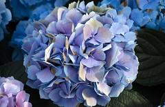 Plant pH Test (scholarerrant) Tags: blue plant flower closeup unitedstates pennsylvania hydrangea longwoodgardens hortensia inflorescence hydrangeamacrophylla hydrangeaceae kennettsquare bigleafhydrangea lacecaphydrangea cultivar cornales mopheadhydrangea frenchhydrangea pennymac