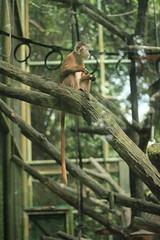 Long tailed monkey (Sherly Desnita) Tags: food brown tree animal monkey long eating tail chillin primate ragunan