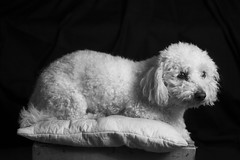 Bolognese (Slep) (Lexandeer) Tags: light blackandwhite dog studio photography bolognese
