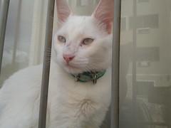 Davi (Claudia _Freitas) Tags: gatobranco flickrandroidapp:filter=none