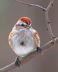 American Tree Sparrow 28 (Haemorhous mexicanus) (egdc211) Tags: bird ngc aves americantreesparrow birdwatcher birdphoto backyardbirding haemorhousmexicanus