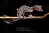 Satanic Leaf-tailed Gecko (Uroplatus phantasticus) (Rob Schell Photography) Tags: africa reptile lizard gecko madagascar ranomafana gekkonidae satanicleaftailedgecko specanimal uroplatusphantasticus