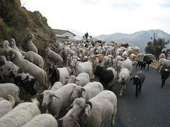 Bhotia-shepherd