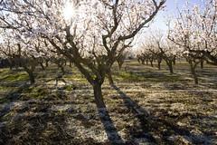 IMG_5535 Almond blossom (jaro-es) Tags: light espaa luz sol canon licht spain natur natura