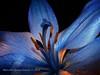 Blue Lilium & Light (Marcella Spanò Garsia) Tags: light flores flower nature fleur ngc natura fiori impressedbeauty