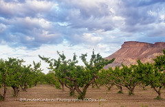 The Palisade Peach Groves (RondaKimbrow) Tags: landscape colorado grove peach palisade grandjunction mtgarfield westerncolorado coloradoimages wwwrondakimbrowphotography500pxcom rondakimbrowphotography