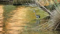 Tri-colored Heron (Jim Mullhaupt) Tags: blue wallpaper brown white lake bird heron nature water fishing pond flickr purple florida wildlife bradenton tricoloredheron wader tricolored mullhaupt jimmullhaupt