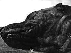 DSCN5376 (Eye-View Photography) Tags: sleeping dog white black labrador bullmastive lawy