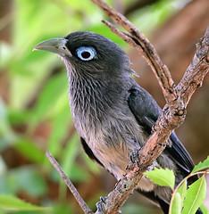 BF malkoha (T_Monk) Tags: birds bangalore valleyschool mysore chamundi kukkarahalli 14tc 300f4 d5300 naguvanahalli