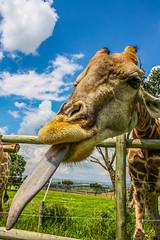 Tongue Play (Frog_Foot) Tags: animal tongue lick gross giraffe slurp