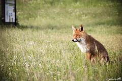 DSC_0169f (ClaudioMio_) Tags: animal nikon fox subject animale umbria norcia 18105 volpe 2014 castelluccio soggetto castellucciodinorcia 18105mm d5100 nikond5100