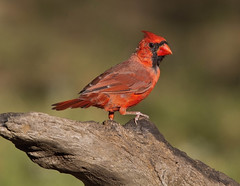 Northern Cardinal, male (AllHarts) Tags: malenortherncardinal backyardbirds memphistn naturescarousel ngc