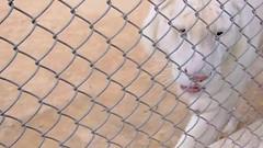 Spin Xmarai ( White Tiger )...Tabeidor Xmarai!! ^__^ (Khan Khattak) Tags: khankhattak khattak spinxmarai whitetiger tiger tabeidorxmarai xmarai eyeviewpark bahriatownislamabad isloo islamabadthebeautiful islamabad kpk khyberpakhtunkhwa khyberpashtunkhwa pashtun pakhtun khanafghan afghania northernpakistan khattakkhan twincities traveloguenorthernpakistan travelpakistan parksofnorthernpakistan potohar northernpunjab khan khattaks wildlife khanscity khankhattaks