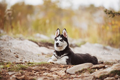 STZ_5549fb (szugic) Tags: husky siberianhusky huskie dog puppy animal nature