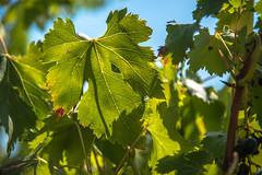 Le temps des vendanges #2 (oxybis_photos) Tags: vignes raisin viticulture ctesdurhne vaucluse feuille