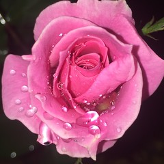 (Aini174) Tags: rose roses nature beauty flowers flower