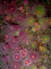 technifluoro viridis (richie rocket) Tags: scillies seasearch scillyisles cornwall uk underwater scuba diving
