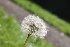 Dandelion (xPsychoPrincex) Tags: dandelion flower nature small cute white wishing wish