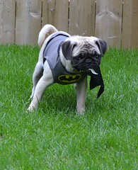 Boo The Batman Pug (DaPuglet) Tags: pug pugs dog dogs pet pets animal animals puppy puppies batman costume halloween funny cute batpug bat