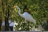 1DS30615 View Large. Back Yard Visitor. (E.W. Smit Wildlife) Tags: 1dsmarkiii canon1dsmarkiii canoneos1dsmarkiii canonef70300mmf456lisusm ef70300mmf456lisusm canonef70300mmf456lis egret greategret menifee menifeecalifornia socal southerncalifornia unitedstatesofamerica usa backyard wildlife wildanimals outdoor outdoors bird birds animal avian animals inlandempire riversidecounty canon nature