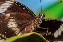 Bereit zum Abflug (Fotos4RR) Tags: schmetterling butterfly insekt insect tier animal flügel wing wings