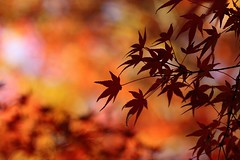 maple http://ift.tt/2f6FqyS (koizhy) Tags: ifttt 500px maple autumn fall leaves tree red color orange