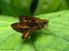 Common dartlet (LPJC) Tags: butterfly munnar kerala india 2015 lpjc commondartlet skipper