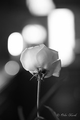 BW White Rose Bokeh-1014 (Orkakorak) Tags: roses whit red bw
