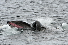 Whale Tongue (naturalturn) Tags: whale ocean southern southernocean water gerlachestrait gerlache strait antarctica image:rating=5 image:id=189129