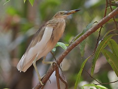 Indian Pond Heron (SivamDesign) Tags: canon eos 550d rebel t2i kiss x4 300mm tele canonef300mmf4lisusm bird fauna indian pond heron indianpondheron ardeolagrayii breeding