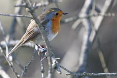 Rouge gorge (Le Méhauté Sébastien) Tags: oiseaux camargue pont du gau