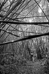 Jackstraws (pacco_racco) Tags: bamboo forest jackstraws middlemekong northernlaos southeastasia leicam6 leicasummicron35mmf20asph kodaktrix400